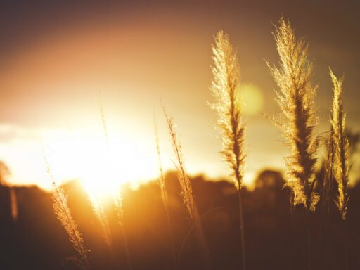 Wheat with the sun